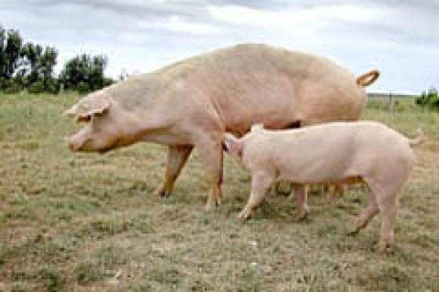 Spadek produkcji wieprzowiny w Europie Wschodniej