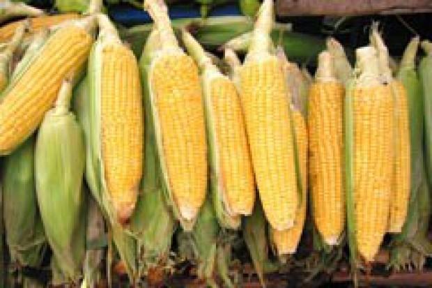 Francja: uprawy kukurydzy GMO MON 810 nie będzie