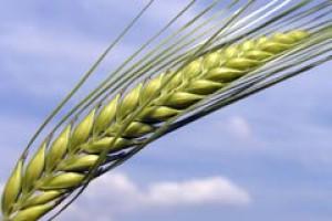 Wzrost światowej produkcji pszenicy