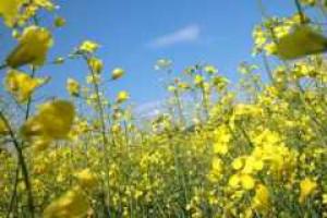 Rolnicy nie chcą kontraktować rzepaku energetycznego