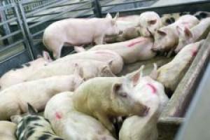 Ukraińcy już nie chcą naszej wieprzowiny