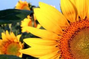 Kernel kupił ukraińską firmę dzierżawiącą 1,7 tys. ha gruntów rolnych
