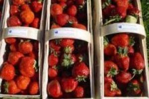 Dobre prognozy zbiorów truskawek, agrestu i nowalijek