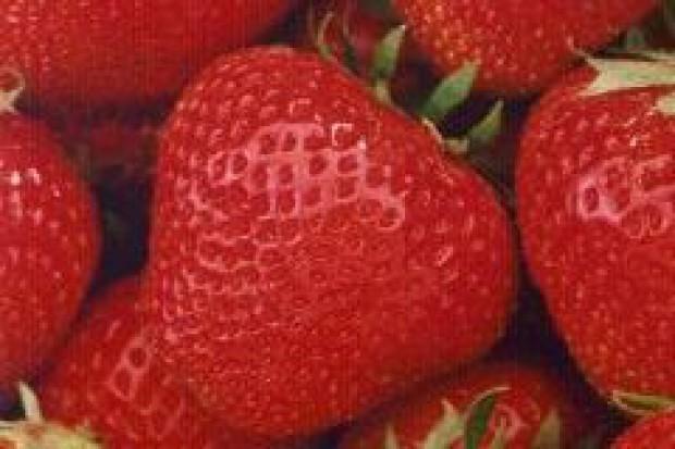 Pracownicy z Białorusi zbiorą polskie truskawki