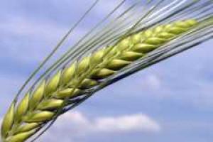 Chiny zapowiadają rekordowe zbiory pszenicy i kukurydzy