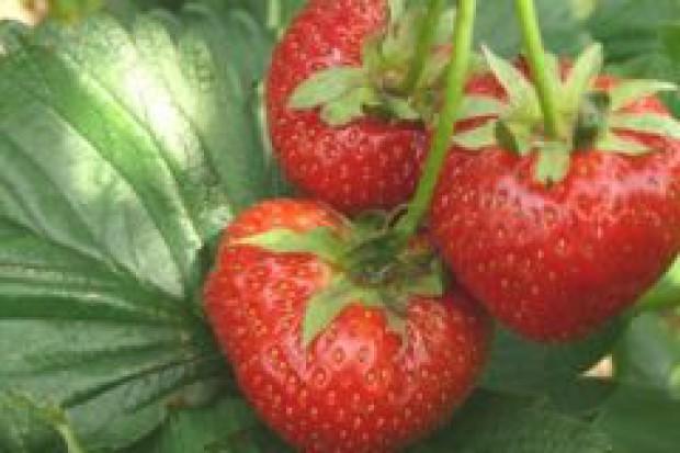 Biurokracja uderza w plantatorów truskawek