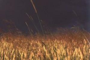 Susza spowoduje znaczące spadki plonów zbóż