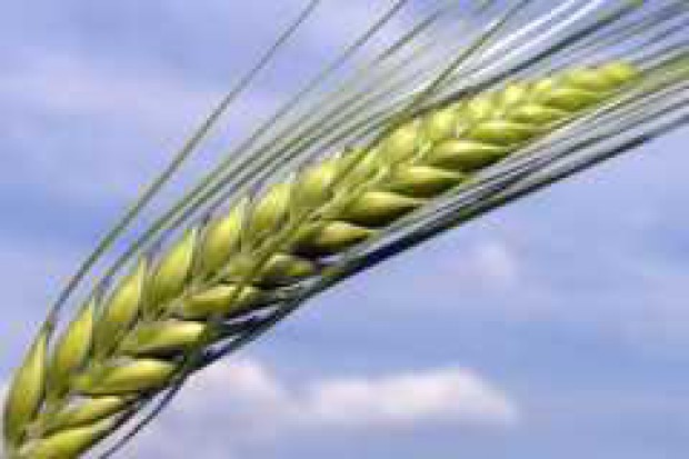 IGC obniża prognozy produkcji zbóż