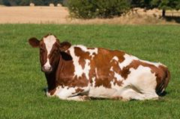 Wzrost pogłowia bydła w UE w 2007 roku