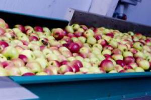 Duże zapasy koncentratu jabłkowego - ceny skupu jabłek będą niskie