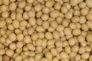 W Polsce mamy 350 ha obsianych GMO