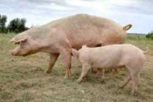 UE: spadek produkcji trzody chlewnej