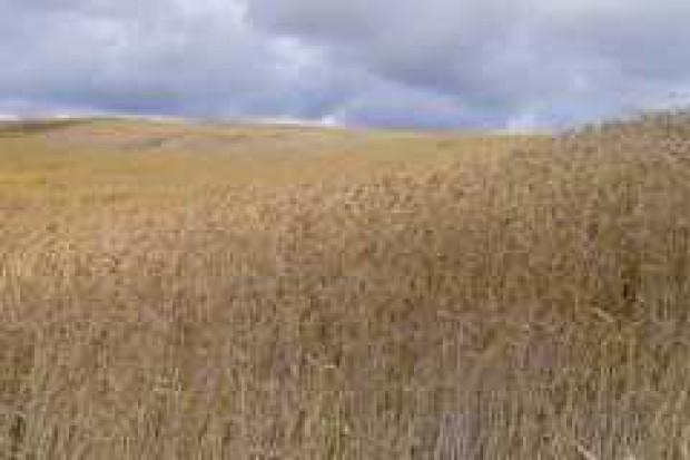 Prawie 300 mln ton zbóż zbiorą w tym roku Europejczycy