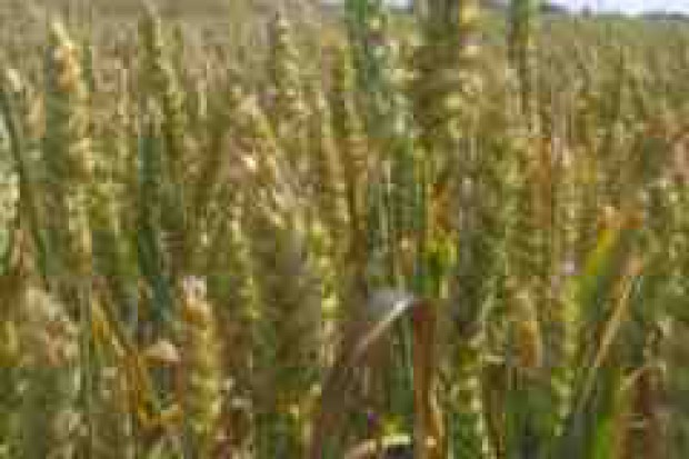 IUNG: susza nadal zagraża zbiorom