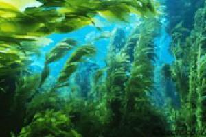 Sapphire Energy chce pozyskiwać zieloną ropę z alg
