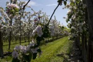 Zniechęceni sadownicy wycinają jabłonie i sadzą drzewka orzechowe