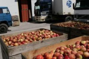 Zbiory jabłek u UE będą wyższe od ubiegłorocznych