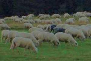 Kryzys w europejskim sektorze owczarskim