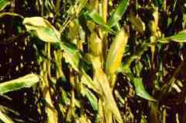 Rośliny modyfikowane genetycznie podbijają wieś