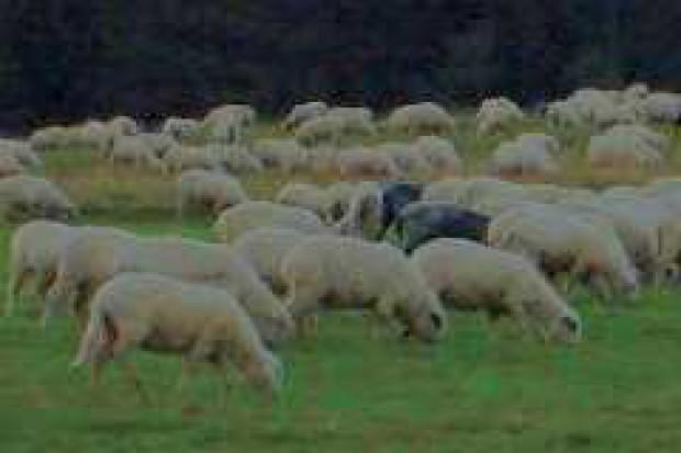 UE: maleje produkcja mięsa owczego i koziego