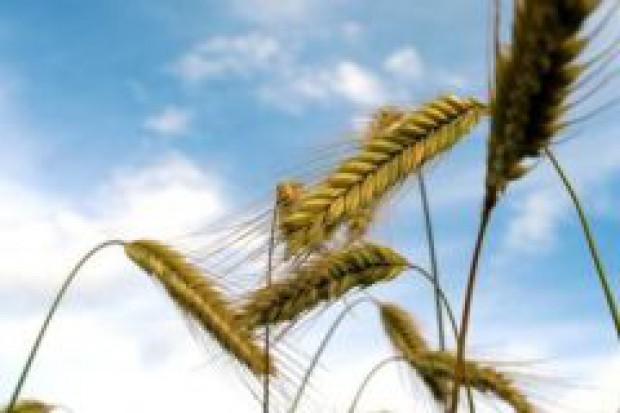 GUS: Zbiory zbóż podstawowych w Polsce spadną o 0,4 proc. w 2008 r.