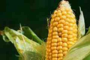 Koszty produkcji kukurydzy i soi będą w 2009 o 20 proc. wyższe