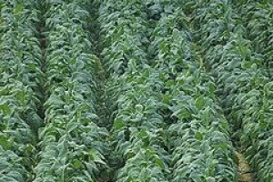 Producenci tytoniu martwią się o przyszłość