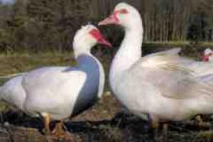 Niemcy: ptasia grypa na fermie kaczek