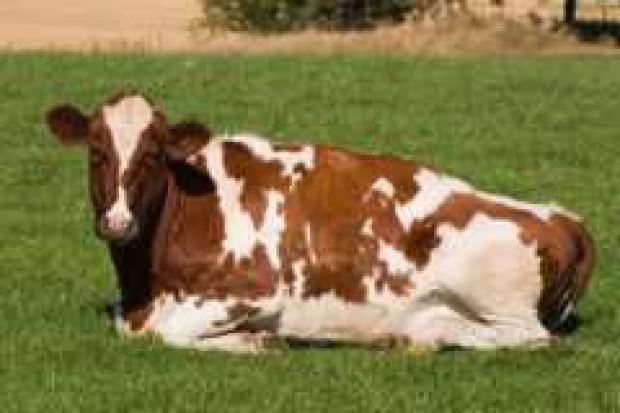 Wielkiej Brytania: spadek pogłowia bydła