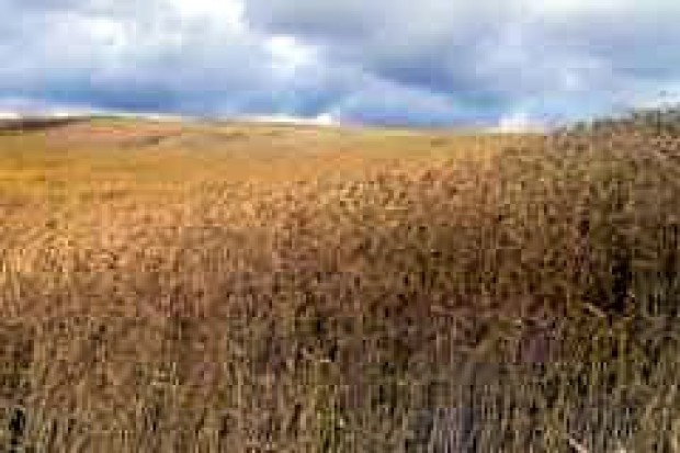 Rosja szybko zwiększa produkcję i eksport zbóż