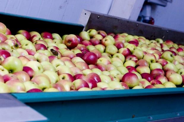 Większe zbiory jabłek, mniejsze gruszek