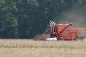 Resort rolnictwa: Cena pszenicy stabilna ale drożeje wieprzowina