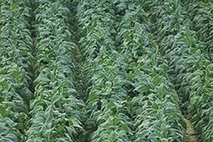 Plantatorzy tytoniu będą protestować w Brukseli