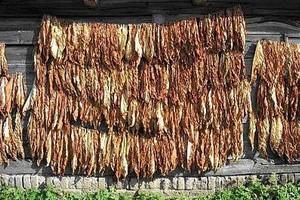 Niewielkie wsparcie zamiast dopłat dla plantatorów tytoniu