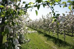 Program Rozwój Obszarów Wiejskich szansą dla polskich jabłek przemysłowych?