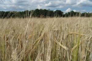 GUS: Zbiory zbóż podstawowych wzrosną o 1,7 proc. w 2008 r.