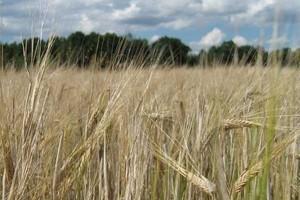 Spokojnie na rynku zbóż