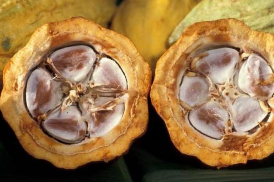 Niekorzystne prognozy zbiorów kakao