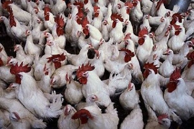 Drób może być tańszy, ale za kilka miesięcy mogą wzrosnąć ceny wieprzowiny i zboża