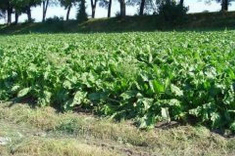 Plantatorzy buraków cukrowych wypowiedzieli porozumienie producentom cukru