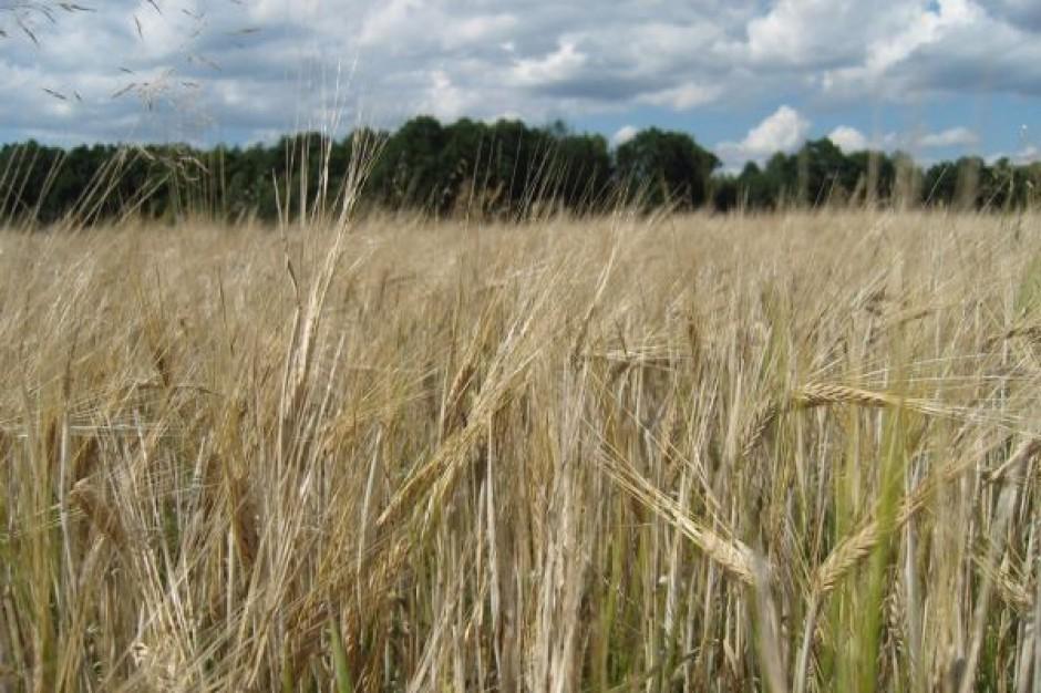 W 2009 r. spadnie w Polsce produkcja zbóż