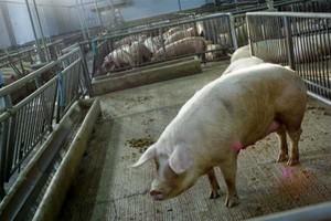 Pogłowie świń w Polsce najniższe od 1970 roku