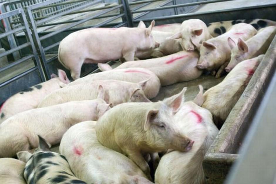 Dalszy spadek pogłowia świń - ceny mogą sięgnąć rekordowych poziomów