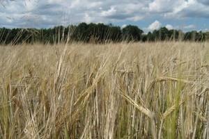 Stan upraw roślin genetycznie zmodyfikowanych na świecie i w Polsce