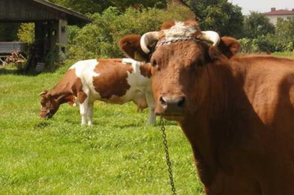 Spada produkcja wołowiny w krajach UE
