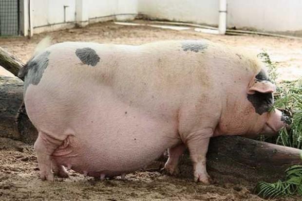 Rosja: Spada pogłowie bydła, rośnie stado żywca wieprzowego