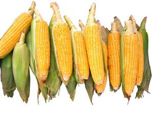 Zdjęcie numer 2 - galeria: Produkty przemiału ziarna kukurydzy w piwowarstwie