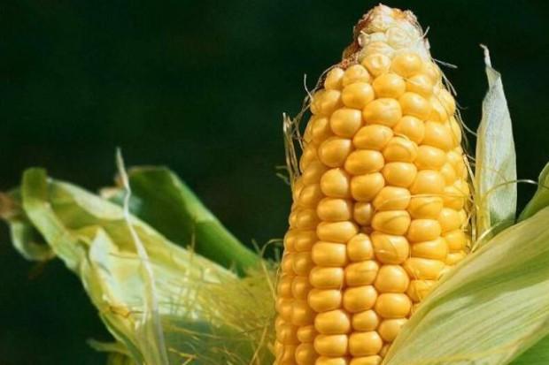 Strategie Grains: spadnie produkcja kukurydzy