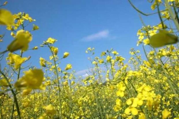 Bayer CropScience AG wprowadza do obrotu genetycznie zmodyfikowany rzepak