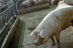 Rolnicy masowo rezygnują z produkcji wieprzowiny